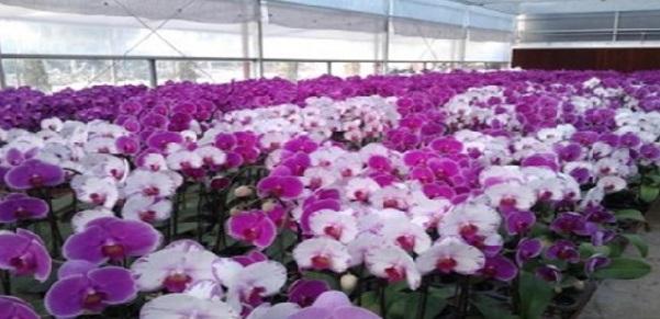 Lắp đặt nhà kính trồng hoa Lan Hồ Điệp